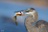 Great Blue Heron, Grand Héron (Ardea herodias)