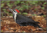 Grand Pic ( Pileated Woodpecker )