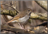 Grive solitaire ( Hermit Thrush )