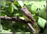 Tyran huppé ( Great Crested Flycatcher )