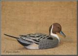Canard pilet ( Northern Pintail )