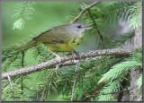 Paruline triste première année ( Mourning Warbler )