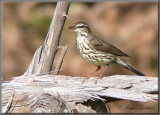 Paruline des ruisseaux ( Northern Waterthrush )