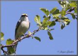 Paruline de Brewster ( Brewster's Warbler )