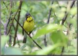 Paruline du Canada ( Canada Warbler )