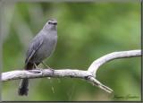 Moqueur chat ( Gray Catbird )