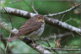 Grive à dos olive ( Swainson's Thrush )