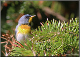 Paruline à collier ( Northern Parula )