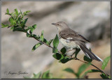 Moqueur polyglotte ( Northern Mockingbird )