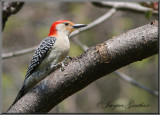 Pic à ventre roux ( Red-Bellied Woodpecker )