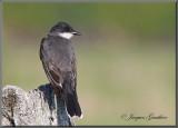 Tyran tritri ( Eastern Kingbird )