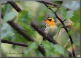 Paruline à gorge orangée ( Blackburnian Warbler )