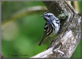 Paruline noir et blanc ( Black-and-white Warbler )