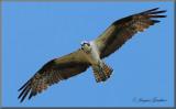 Balbuzard pêcheur ( Osprey )