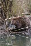 Bever/Beaver