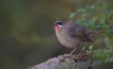Zeldzame & schaarse vogels/Rare & scarce birds