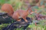 Eekhoorn/Red Squirrel