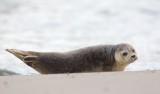 Zeehond/Seal