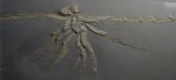 37 cm Pycnogonid Palaeoisopus