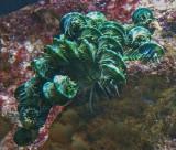 Comatulid crinoid