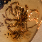 A complete 6 mm spider in Burmite amber from Myanmar.