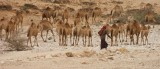 Camels on the coast