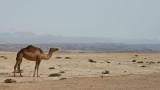 Camel high on the jebel with the khareef fog in the background