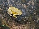 Frog in Wadi Dirbat