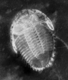 X-radiograph showing Rhenops sp, 45 mm long. Limbs are visible.