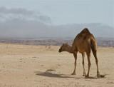 Salalah camel 3.jpg