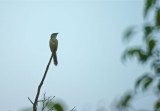 Salalah bird5.jpg