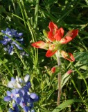 Bayou indian paintbrush and blue bonnets