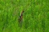 Attwater Prairie Chicken