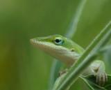Garden Lizards