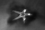 Baliactis sp., 55 mm, X-radiograph