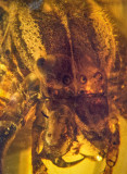 Fangs, eyes and cephalothorax (with white stripes) of araneaeid spider, filling 16 mm burmite amber.