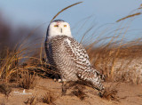 Snowy Owls of Salisbury Beach 2013