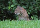 bobcat and squirrel