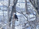 bald_eagles