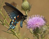 Swallowtail on Bull Thistle