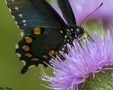 Black Swallowtail on Bull Thistle