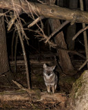 Coyote at Night in Cades Cove