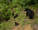 Momma Bear and Five Cubs