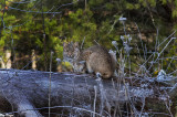 Bobcat on a Log