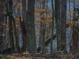 The Lingering Beech Leaves