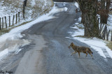 Brazen Coyote