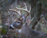 Eight Pointer in the Woods