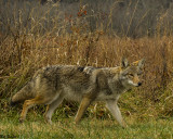 Coyote Hunting Along a Field
