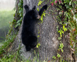 Cub Exiting Oak Tree After Dining