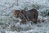 Bobcat on a Frosty Morning in December